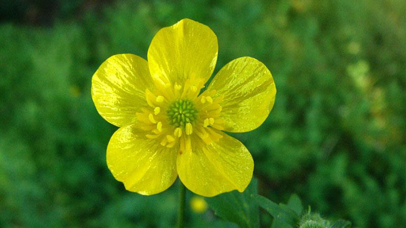Hairy buttercup flower.