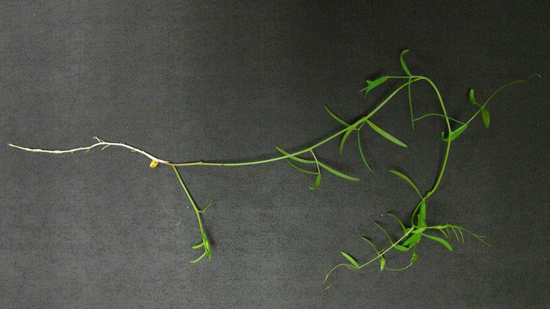 Thumbnail image for Hairy Vetch