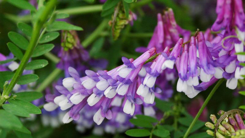 Hairy vetch flower color.