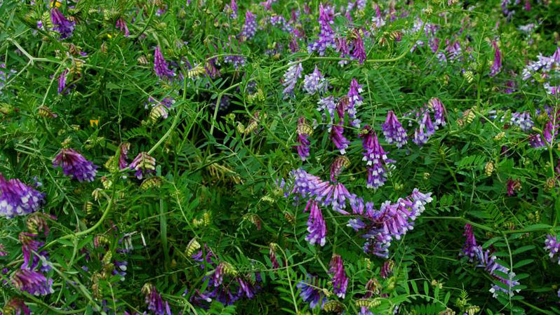 Hairy Vetch