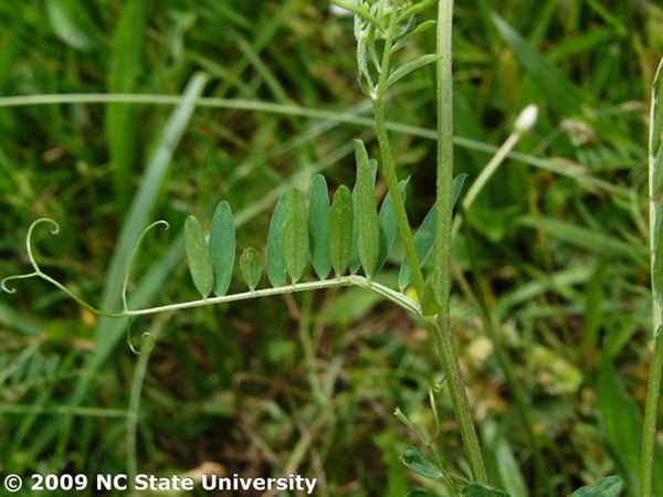 Photo of hairy vetch