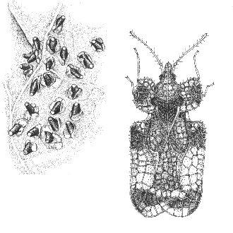 Figure 4. Eggs (left) and adult of the hawthorn lace bug. Not to