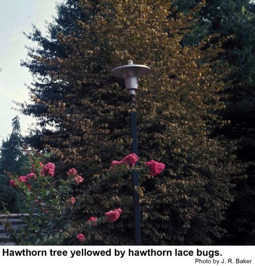 Hawthorn is also susceptible to lace bug damage.