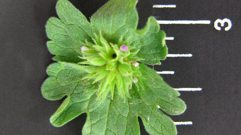 Henbit leaf margin.