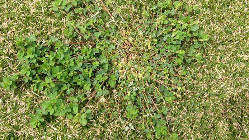 Hop clover growth habit.