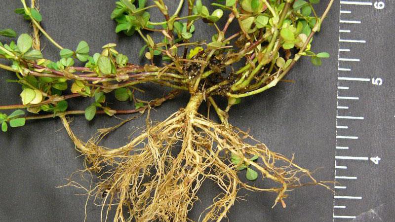 Hop clover root type.