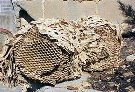 Figure 3. Exposed comb of hornet's nest.