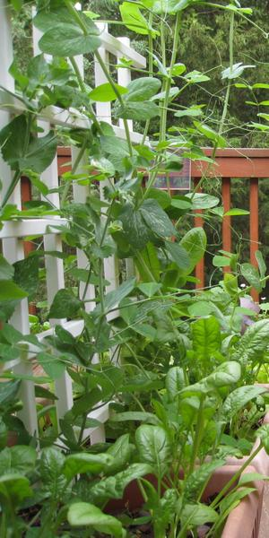Photo of spinach and pea plants