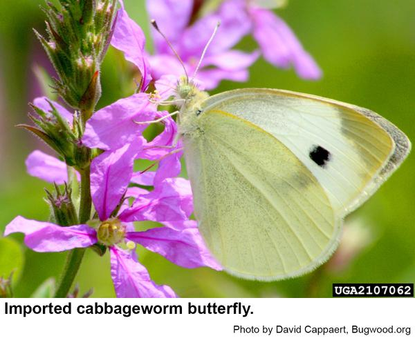 Imported cabbageworm butterflies