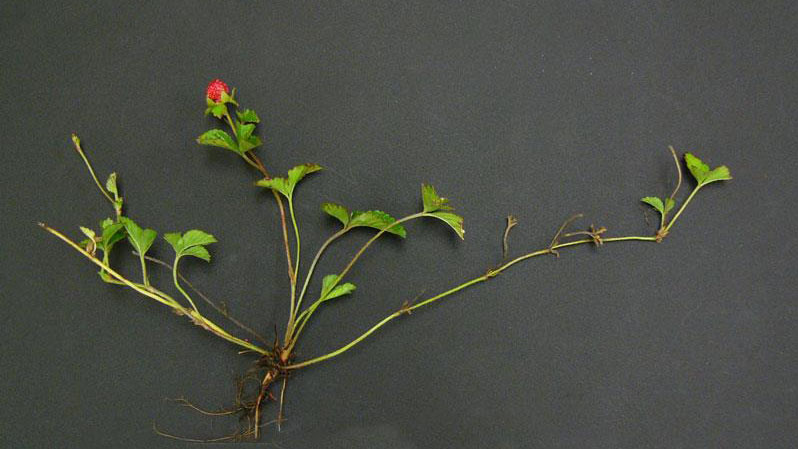 Indian mock strawberry growth habit.