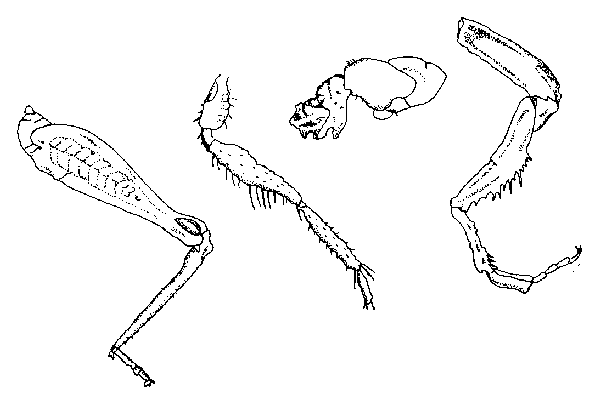 insect leg  line drawings