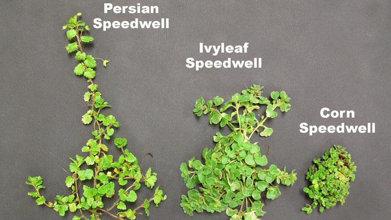 Ivyleaf speedwell growth habit.