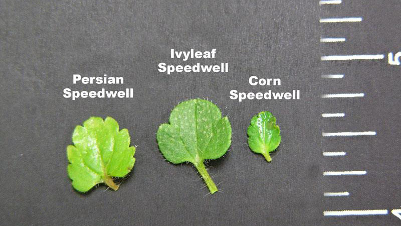 Ivyleaf speedwell leaf margin.