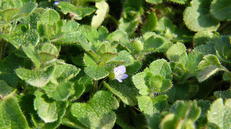 Ivyleaf speedwell leaf hairs.
