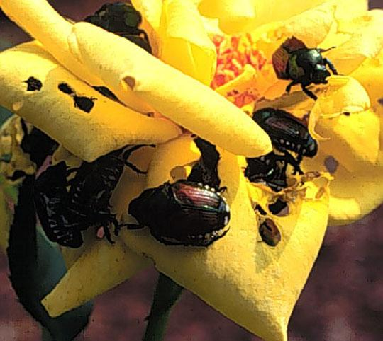 Figure 2. Japanese beetles.