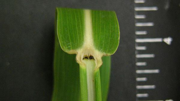 Johnsongrass auricle