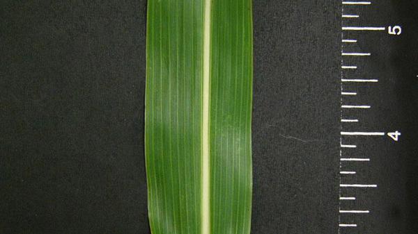 Johnsongrass leaf blade width