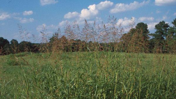 Johnsongrass seedhead