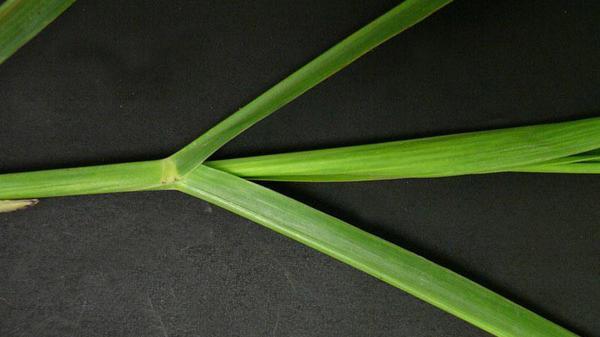 Johnsongrass vernation