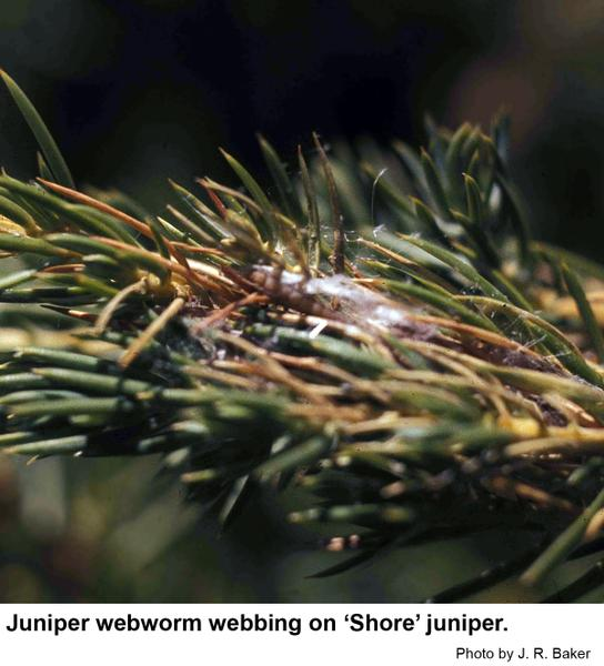 Webbing by the juniper webworm.
