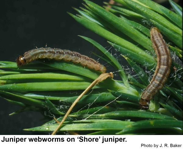 Juniper webworm caterpillars.