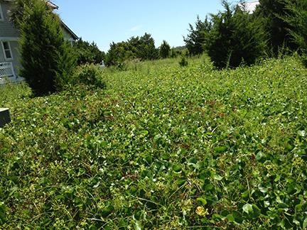 Vacant field overgrown with kudzu
