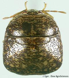 Figure 2. Adult kudzu bug.