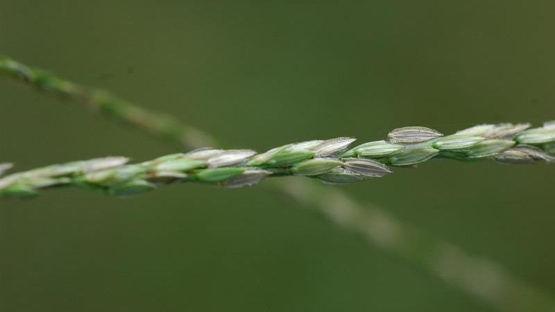 Thumbnail image for Large Crabgrass