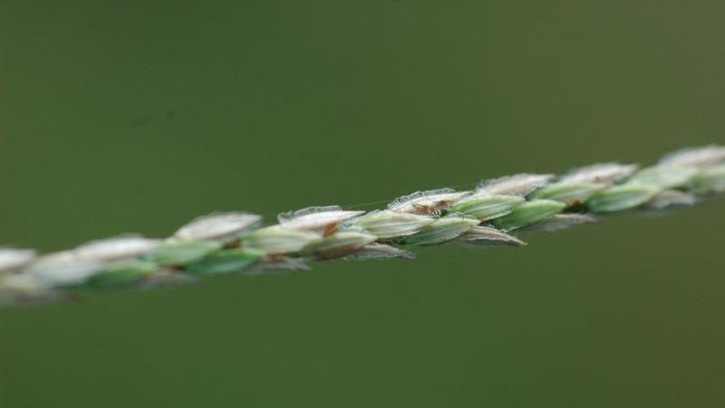 Large Crabgrass seedhead