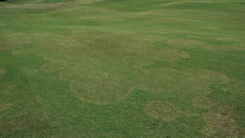 Large patch stand symptoms