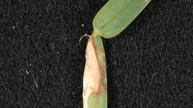 Large patch foliar symptoms.