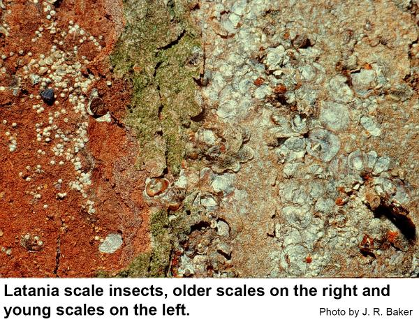 Latania scale insects