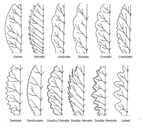 Illustration of leaf margins
