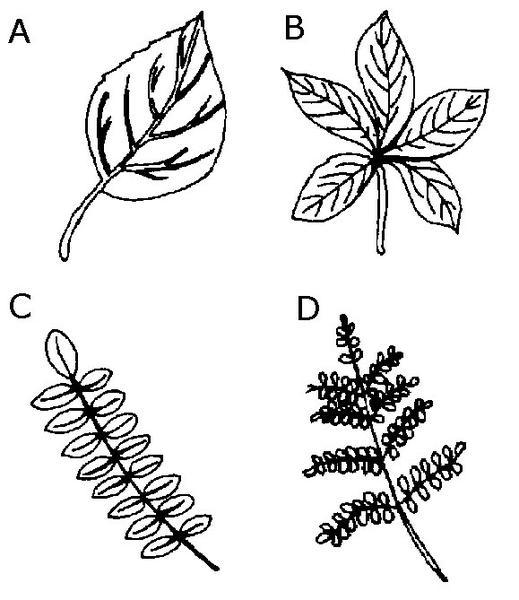 Illustrations of leaf types