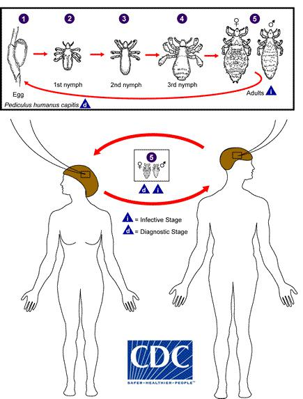 Drawing of the life cycle of head lice.