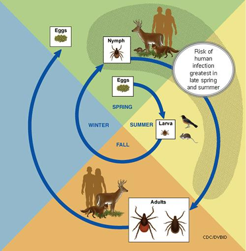 Thumbnail image for Ticks and Tick-Borne Diseases
