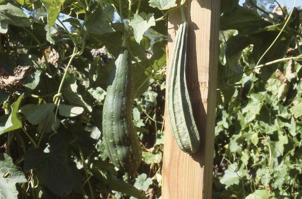 luffa gourds growing on a trellis
