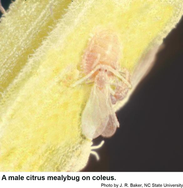 Male citrus mealybugs