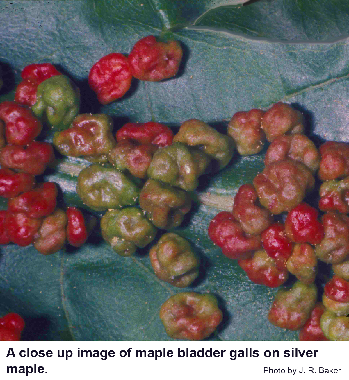 Maple bladder galls are well named!