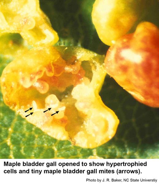 distorted plant cells and tiny maple bladder gall mites