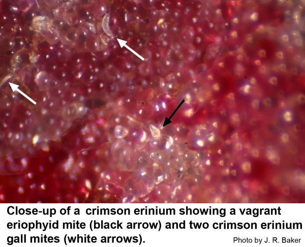 Because erineum galls are open, various kinds of mites can crawl