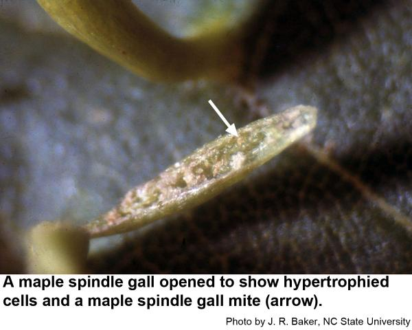 Maple spindle gall mites are microscopic.