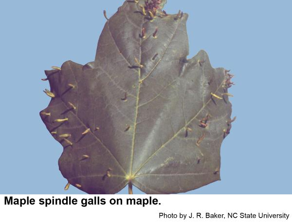 Maple spindle galls are slender and taper.