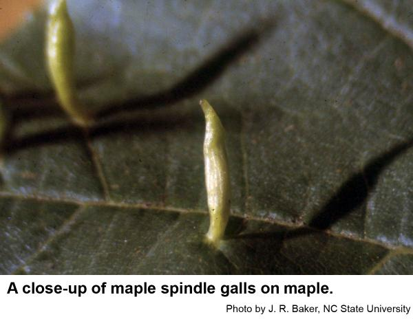 Maple spindle galls protrude through the top of the leaf.