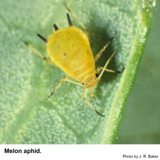 The melon aphid may be pale green or very dark green.