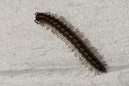 Garden millipede on house siding