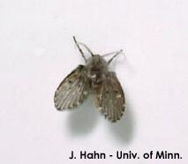 Figure 1. Drain fly.