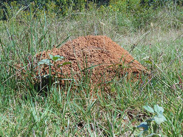 A fire ant mound in a field