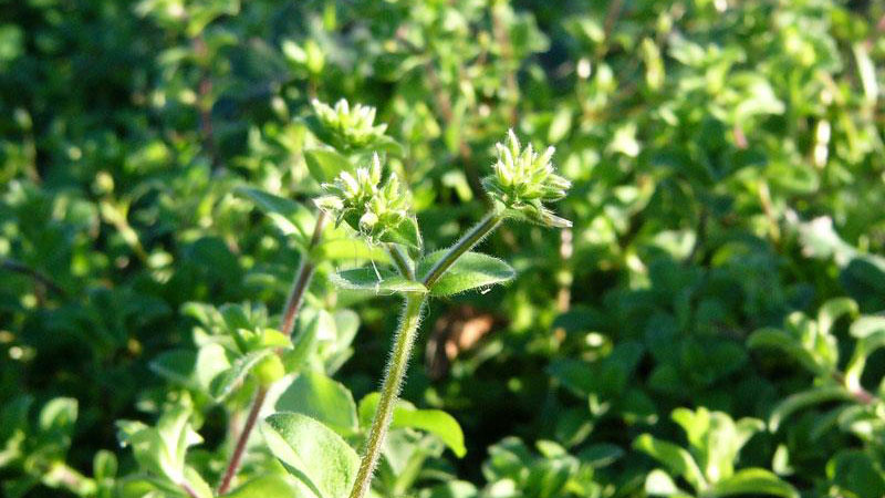 Mouseear chickweed growth habit.