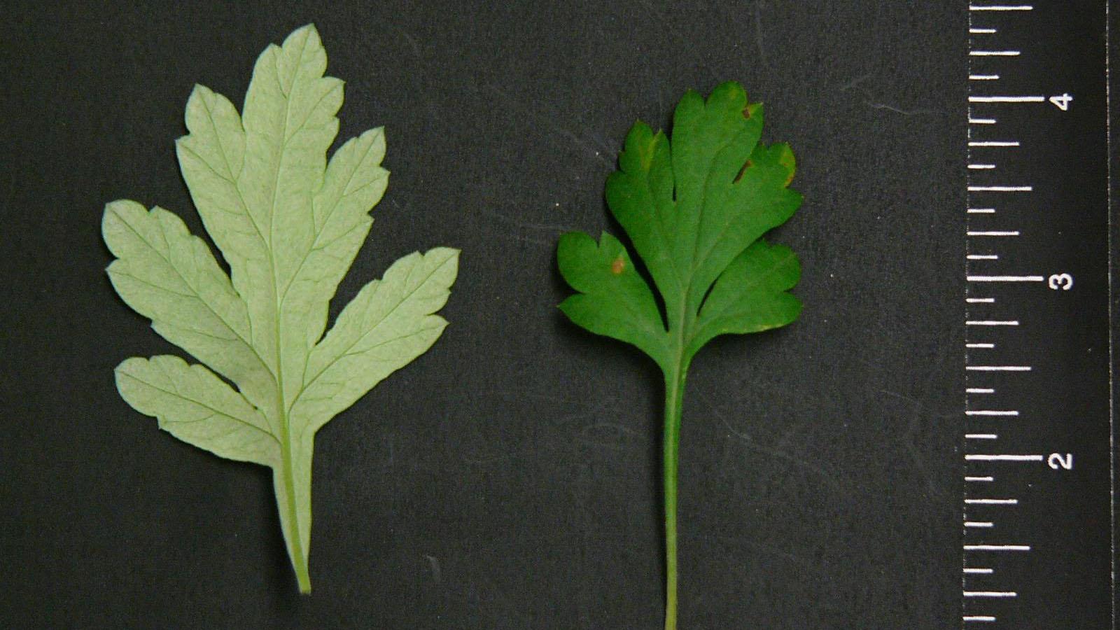 Mugwort leaflet shape.